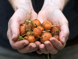 Parisienne Carrots By Chiot's Run @ flickr