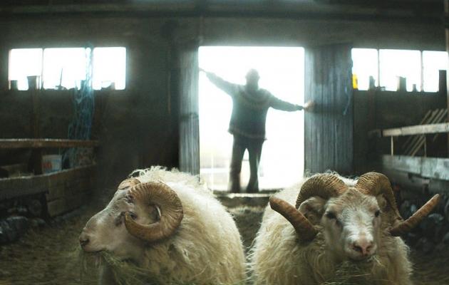kadr z filmu Barany. Islandzka opowieść